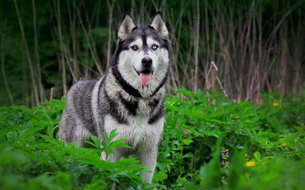 Huấn luyện chó Husky một cách đơn giản