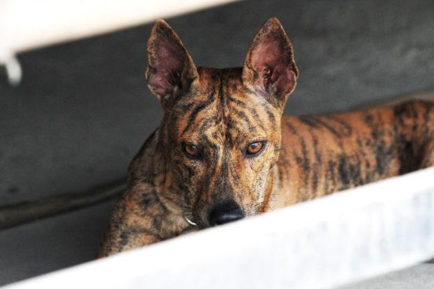 Cách huấn luyện chó Phú Quốc nghe lời